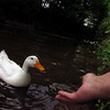 Sonny, duck, hand, canal, 3
