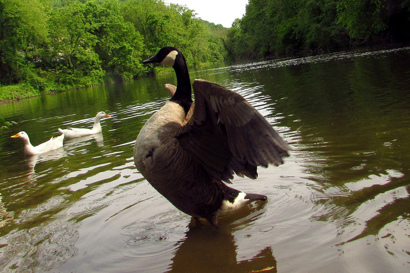 Napoleon, wings, goose, canada, canal
