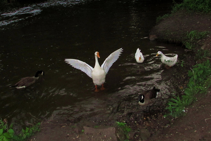 Big Guy, goose, wings, canal