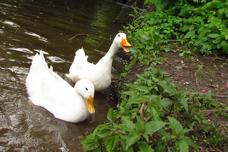 Sonny, Cher, duck, canal