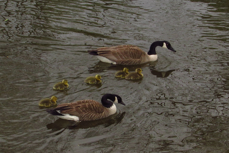 goose, geese, canada, goslings, canal