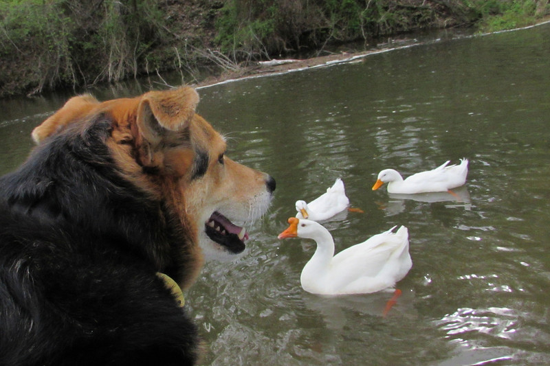 Maddie, duck, geese, goose, canal