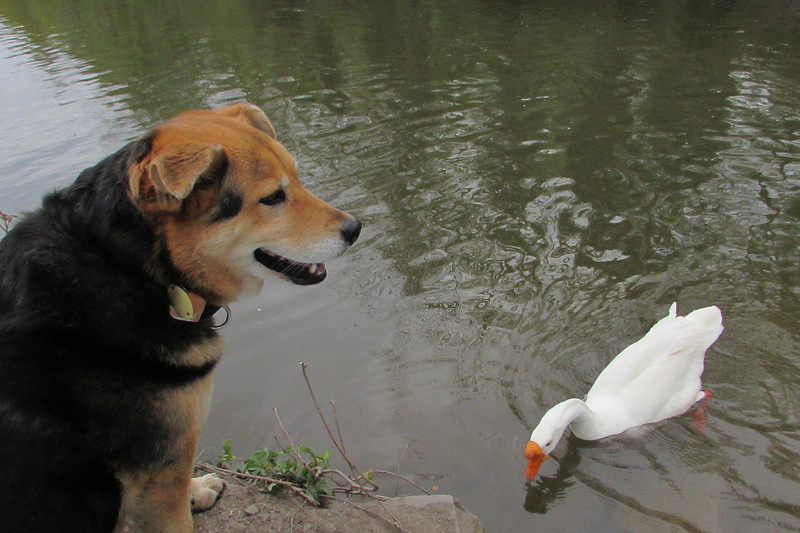 Maddie, big guy, goose, canal