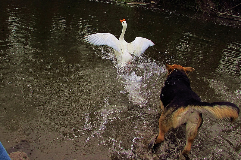 Maddie, Big Guy, goose, chase, canal, FB