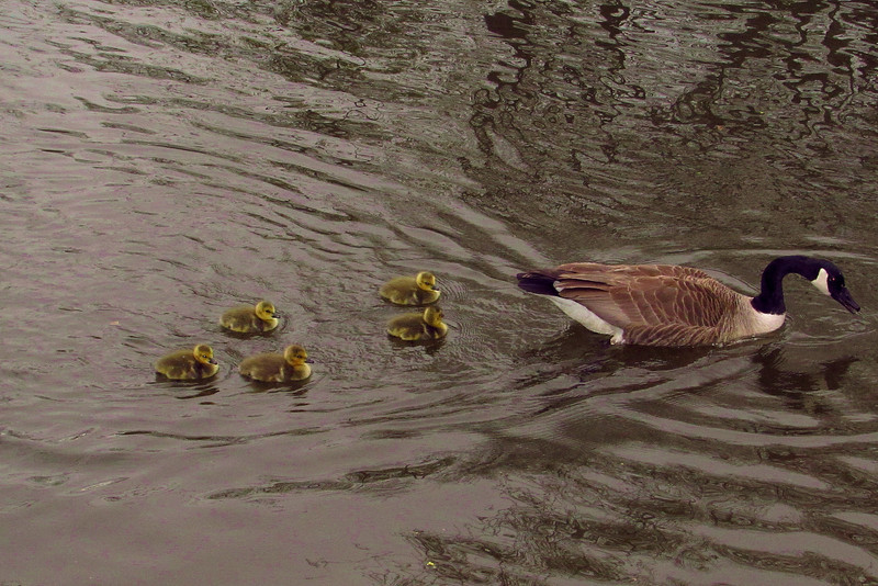 goose, geese, canada, goslings, canal, 3