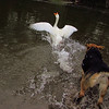 Maddie, Big Guy, goose, chase, canal