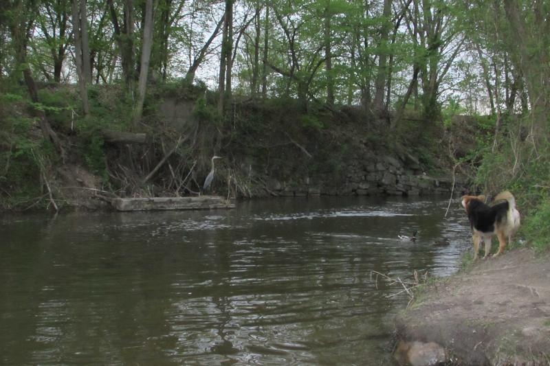 Maddie, Blue Heron, canal, 2