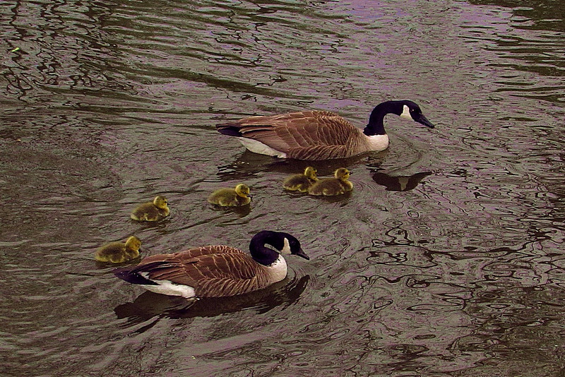 goose, geese, canada, goslings, canal, FB