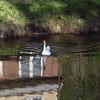 big guy,  goose, canal