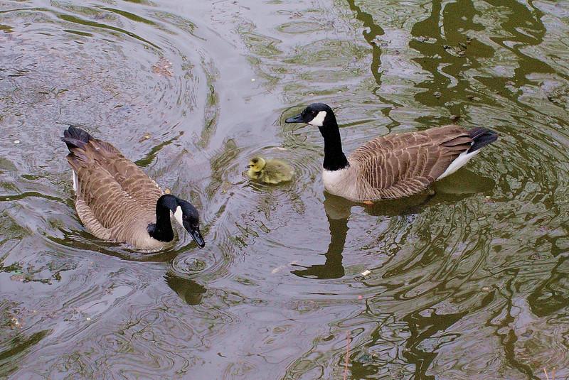 Canada, gosling, goose,  2
