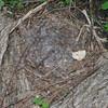 Josephine, goose, nest, egg, 3