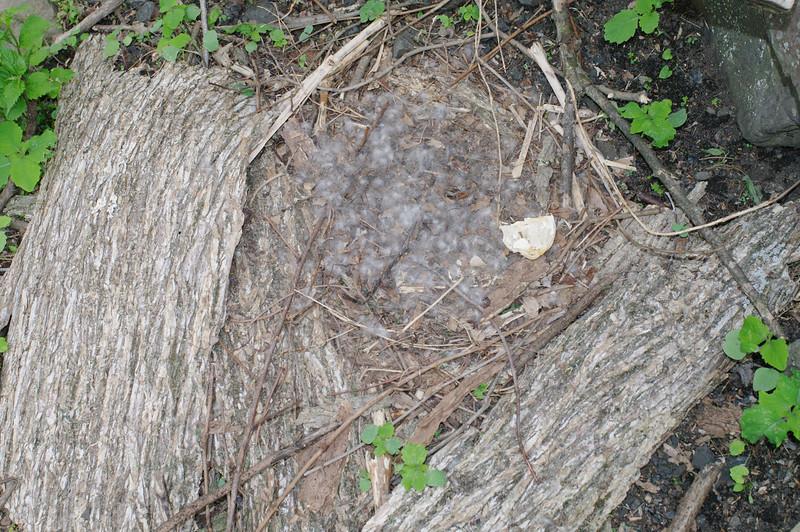 Josephine, goose, nest, egg, 2