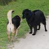 Maddie, dog, towpath, black, 2