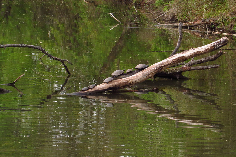 Turtles, canal, 4
