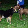 Jake, kelpie, Maddie, towpath, 2
