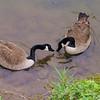 Poca, novio, canal, goose, canada, 2