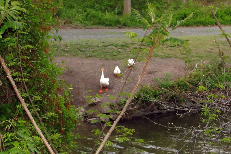 Ducks, goose, canal