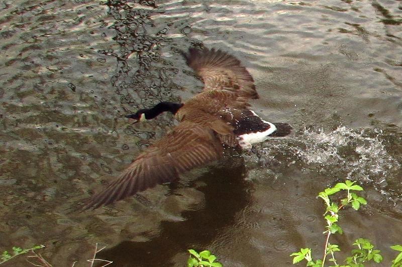 Poca, canada, goose, canal