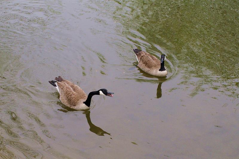 Poca, novio, canal, goose, canada
