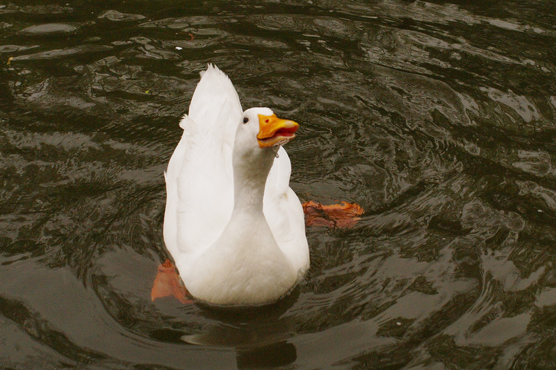 Sonny, duck, canal, looking up, 5