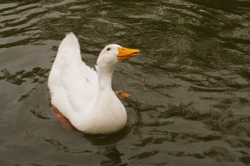 Sonny, duck, canal, looking up, 4