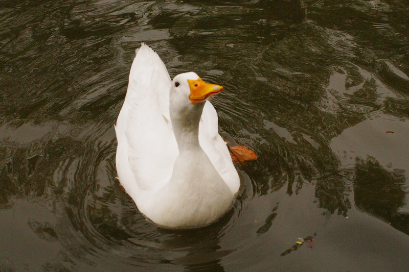 Sonny, duck, canal, looking up, 6