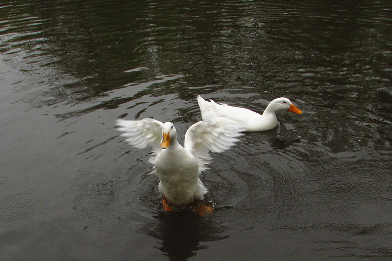 Cher, Duck, wings, canal