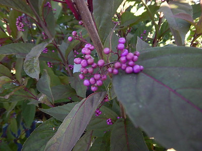 CALLICARPA PURPLE PEARLS® (PW)
