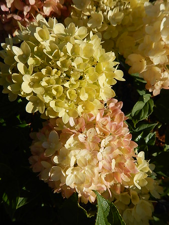 HYDRANGEA LITTLE LIME® (PW)