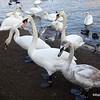 Swans on the Vltava River in Prague, Czech Republic in February 2014