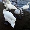 White swans at the Vltava River in Prague, Czech Republic in February 2014