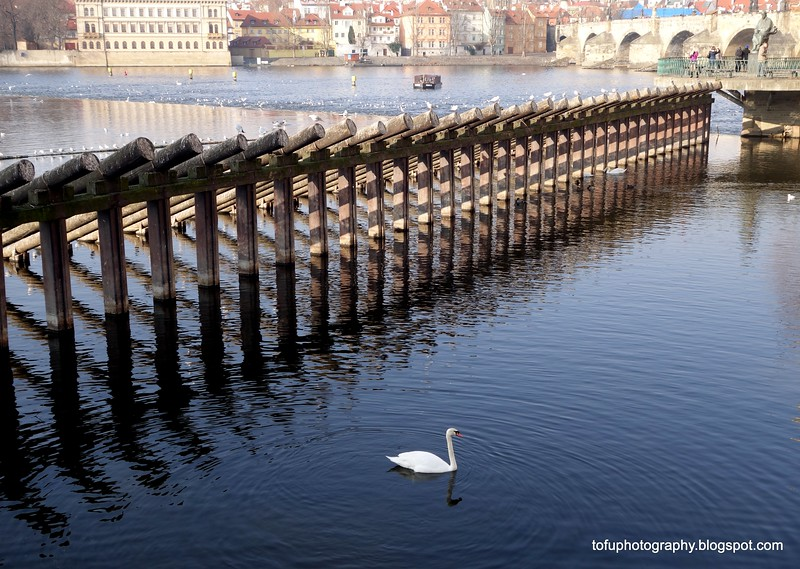 A white swan on the Vltava River in Prague, Czech Republic in February 2014