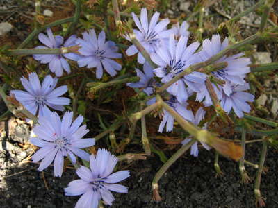 Flowers of Menorca