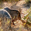 Everyone is welcome at Tara Center - any our kind mothers. Though some people think javelina are a type of wild pig, they are actually members of the peccary family and native to Southern Arizona. Please visit us soon!