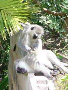 lazy monkeys cherishing each other