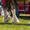 Clydesdales2015-116