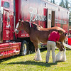 Clydesdales2015-105