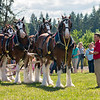 Clydesdales2015-113