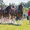 Clydesdales2015-114