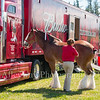 Clydesdales2015-104