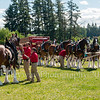 Clydesdales2015-108