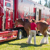 Clydesdales2015-103
