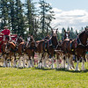 Clydesdales2015-117
