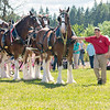 Clydesdales2015-115