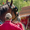 Clydesdales2015-111