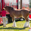 Clydesdales2015-101