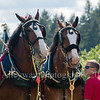 Clydesdales2015-118