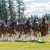 Clydesdales2015-112