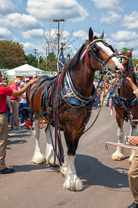 The Budweiser  Clydesdales at the Ohio State Fair