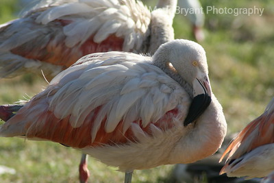Pink flamingo?